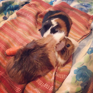 Two 1 Yr. Old Guinea Pigs Looking for a Good Home.
