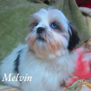 fancy MALSHI puppies  (maltese /shih tzu)