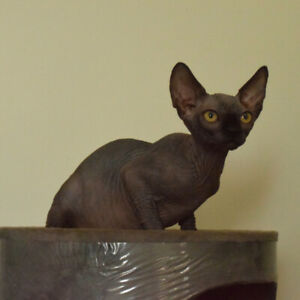 Sphynx | Adopt Cats & Kittens Locally in Toronto (GTA