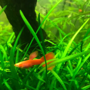 Pure breed Red Albino guppies for sale from thailand