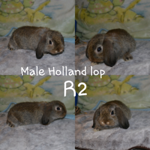 Fluffy holland lop bunny rabbits