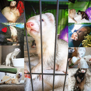 Two pairs of Bonded ferrets