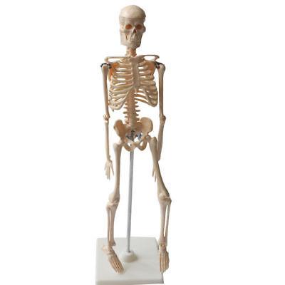 45cm Human Skeleton Model Stand Medical Model For Human Anatomy Education