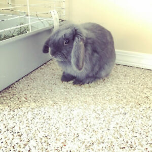 Holland Lop bunny for free