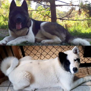 Puppy Akita | Adopt Dogs & Puppies Locally in Ontario