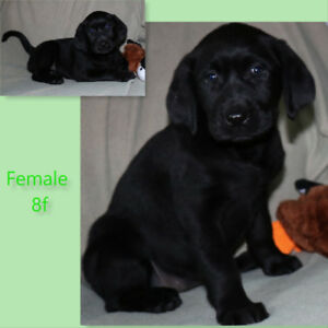 Labrador Retriever Puppies (health tested parents)
