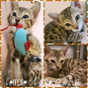 Charming Bengal kittens ready for rehoming