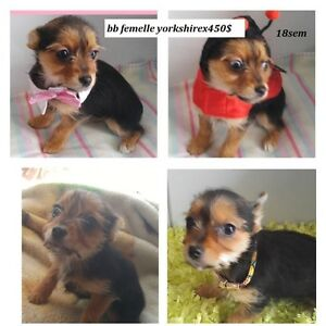 YORKSHIREXCHI 18SEM ,MERE FILLE YORKSHIRE ,M MORKIE WOW 4CHIHUAH