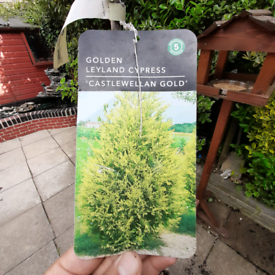 Tree golden Leyland cypress