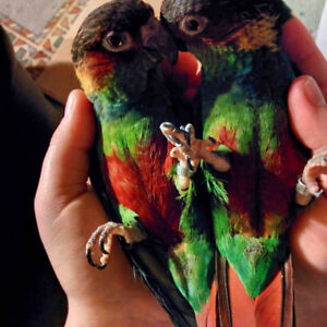 ❤RARES❤  BLUE THROATED PARROT // 2 BEBES PERROQUETS GORGE BLEU