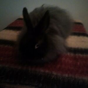 wooley jersey rabbit for rehoming