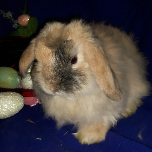 Lop Bunnies/ Fuzzy Lop, affectionate bunnies