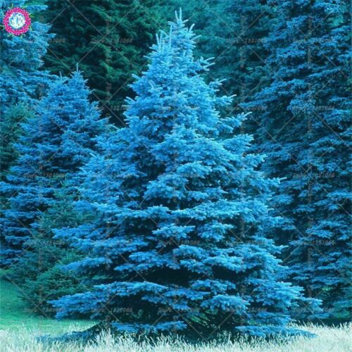 постеры с голубыми елями представляет
