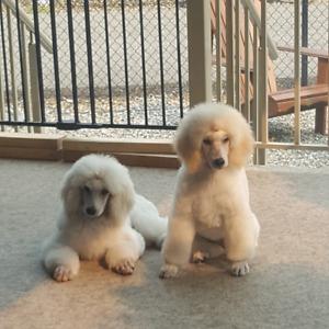 Adopt Dogs & Puppies Locally in British Columbia | Pets | Kijiji