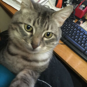 Lost grey tabby Sherwood park.