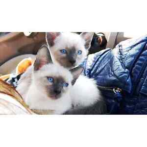 Female siamese kitten for sale 10 weeks old