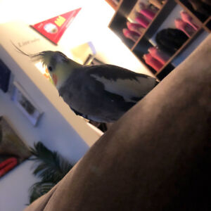 Male Cockatiel for sale. Asking $200  for everything.