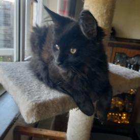 Pedigree Maine Coon Kitten - Female Black & Smoke
