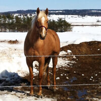 16.2 Palomino Sport horse for lease