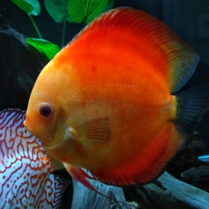 """DISCUS, Large Red Male 6 1/2""""..."""