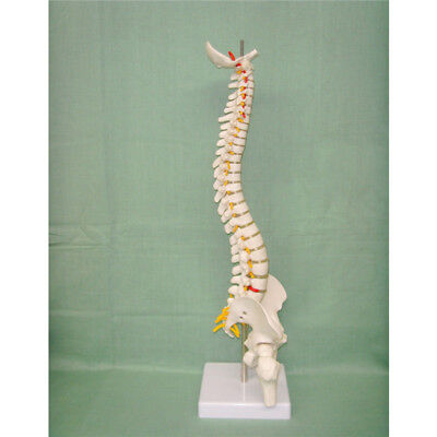 45cm Spine Model With Pelvis Femur Heads 12 Life Lab Equipment Detailed Toys