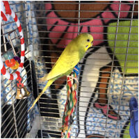 Budgie, no cage