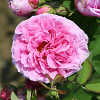 Rose 'comte De Chambord' Potted - unbranded - ebay.co.uk