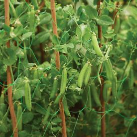 Organic Pea Plant's 🌱