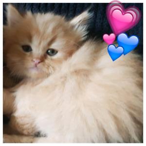 Exotic Dwarf short leg Munchkin Male Kittens