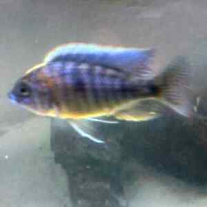 iso breeding groups of cichlids