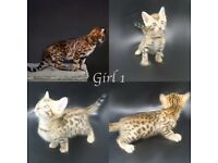 Pedigree Bengal Kittens Top Pure Quality