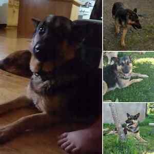 Missing German Shepherd