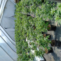 Medical Cannabis Greenhouse Worker