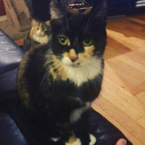 Two sweet tortie Cats for Rehoming