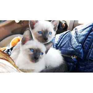 Female Siamese kitten for sale