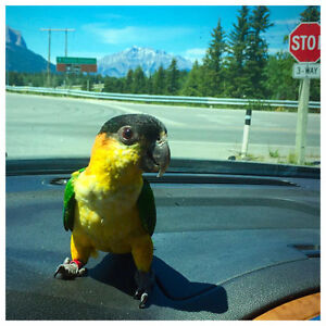 Caique for rehoming