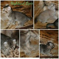 chatons Highland lynx SEPTEMBRE.