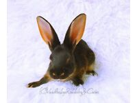 Belgian hare available