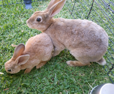 Pure mini rex bunnys 2 x male babys left