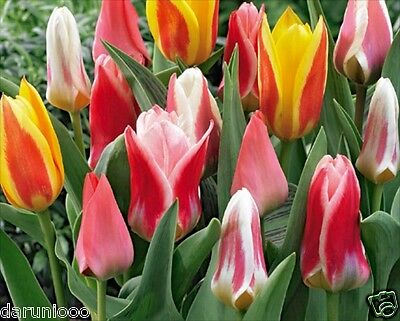 10 TULIPS DWARF MIXED GARDENING BULB BEAUTIFUL SPRING SUMMER FLOWER PERENNIAL