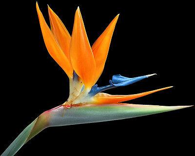500 Seeds Wholesale - Strelitzia reginae - Bird of Paradise - Orange Flower
