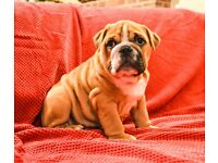 Tricolour and Red English Bulldogs For Sale!