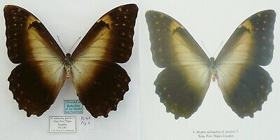 MORPHO TELEMACHUS CF. MARTINI MALE FROM ECUADO (pictured in Butterflies of the W
