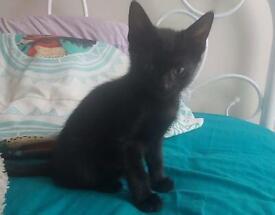 Kitten/male