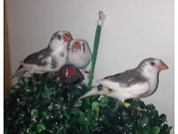 various Zebra finch ***REDUCED PRICE FOR THE LOT***