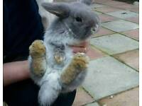 Grey female mini lop