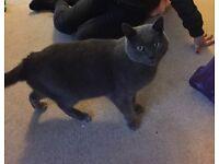 Grey cat found