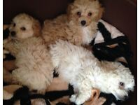 Cavapoo puppies boys and girls