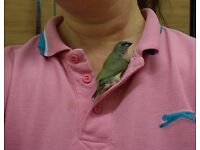 Tame Hand reared Gouldian finch