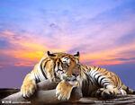 autumn_tiger